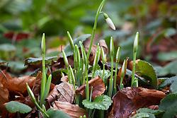 Emerging snowdrop shoots - Galanthus 'Magnet'