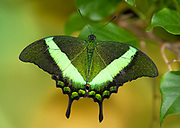 Emerald Swallowtail Butterfly, Papilio palinurus, South Asia, resting with wings open, green colour