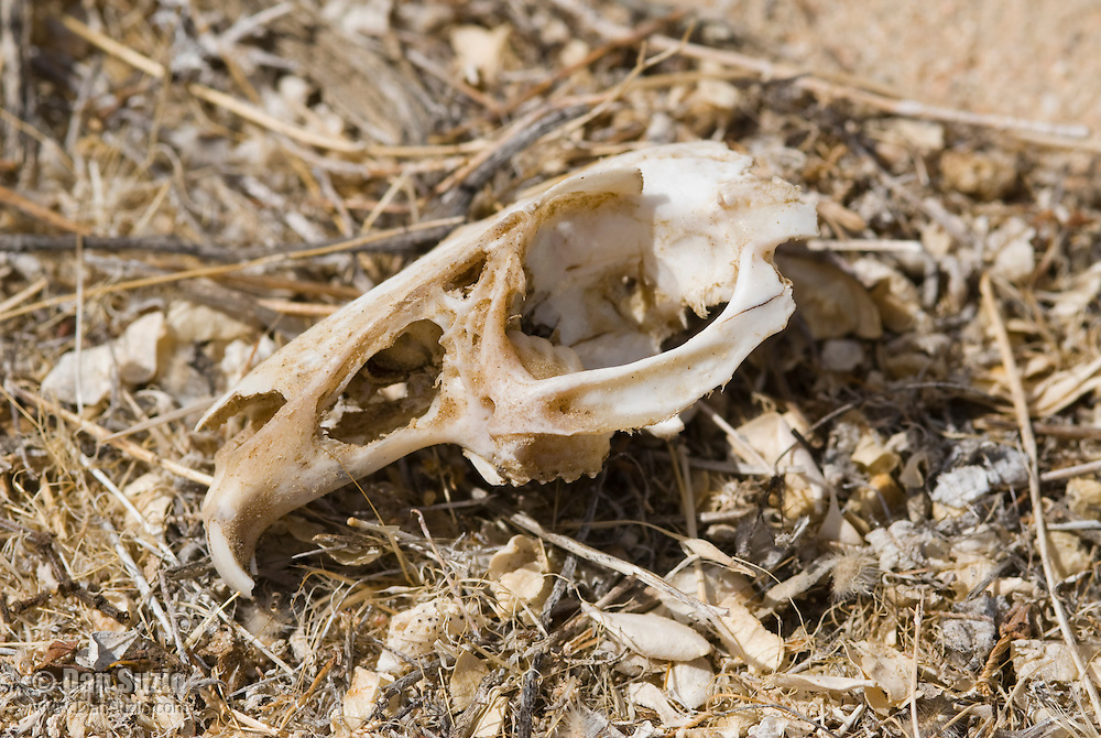 Rodent skull, Red Rock Canyon State Park, California