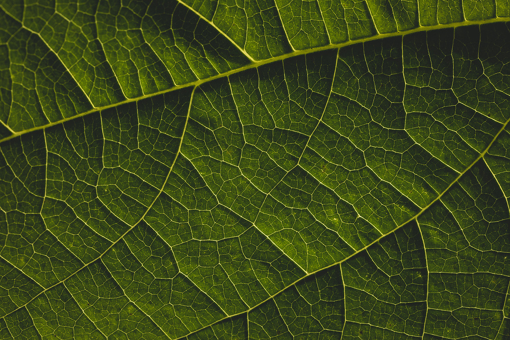 Close up view of a green bean leaf.