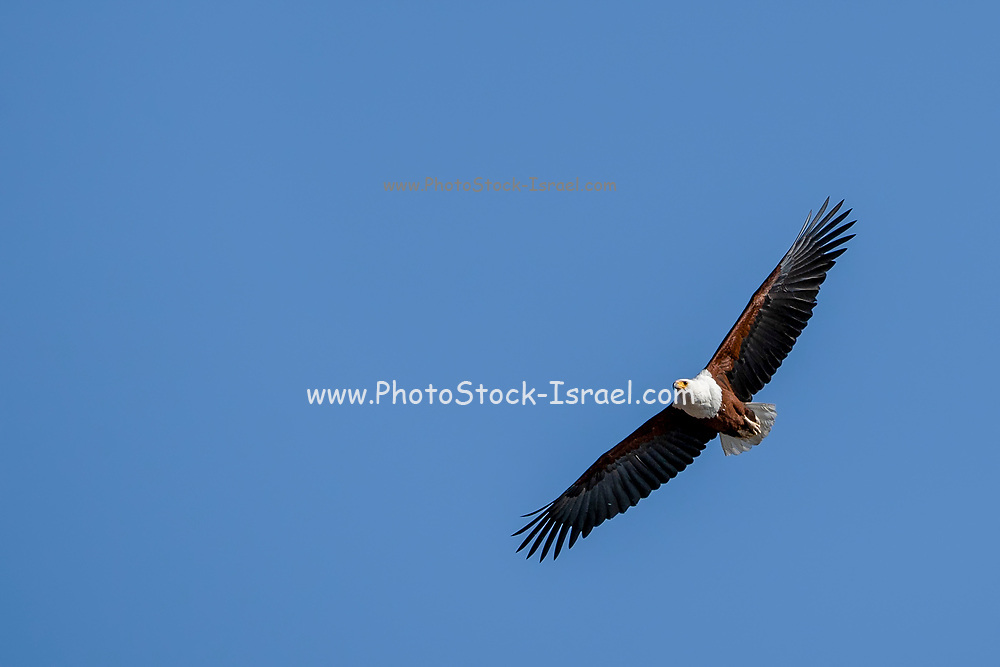 African fish eagle (Haliaeetus vocifer) in flight with a blue sky background . This bird is found in sub-Saharan Africa near water. The female, the larger of the sexes, has a wingspan of up to 230 centimetres. The African fish eagle spends most of the day perching in a high tree near water. From this perch it will swoop down on fish, catching them with its feet. Although the majority of its diet consists of fish, the African fish eagle also feeds on flamingos and other water birds, as well as carrion. Photographed at Lake Kariba, Zimbabwe