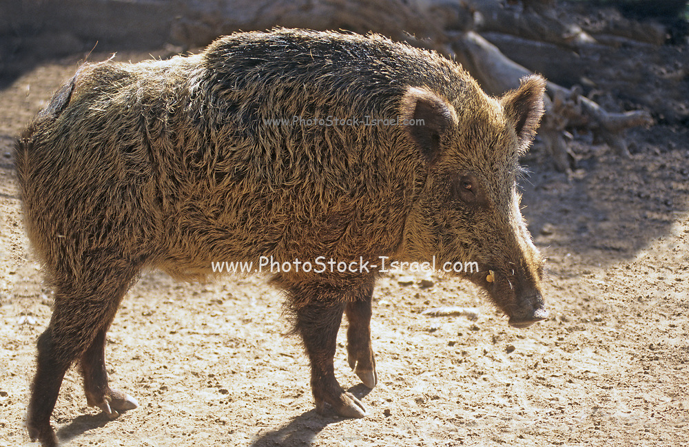 wild boar (Sus scrofa) in the wild. The wild boar is the wild ancestor of the domestic pig and is native across much of Northern and Central Europe, the Mediterranean Region and much of Asia.  Photographed in Israel in December