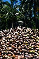 Piles of freshly harvested coconuts at a small farm in Koh Samui, Thailand.
