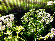 Queen Anne's Lace, PA