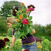 Jo Campbell gardener picking dahlias at an Estate in Felixkirk, North Yorkshire, UK. Jo grows the flowers and creates bouquets to sell locally.