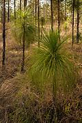 Bottlebrush Stage, Longleaf pine (Pinus palustris Miller)