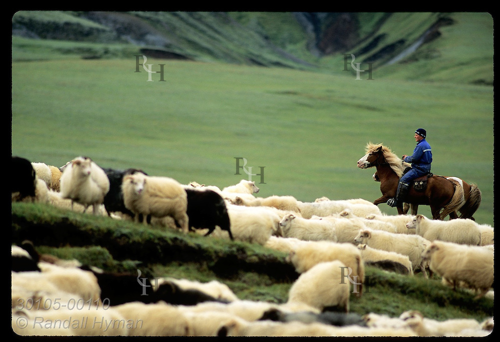 Horseman herds a stream of sheep up slope during annual roundup in fall; Kirkjubaejarklaustur. Iceland