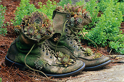 Jim Long of Long creek Farm in Arkansas created a simple and beautiful combination  by planting some Hens and Chicks, Sempervivium, in a pair of old boots