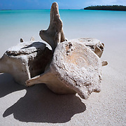 Vertebrae from a sperm whale (Physeter macrocephalus) that stranded on a small island in Vava'u, Kingdom of Tonga. These vertebrae and most of the whale's skeleton was in the process of being cleaned. The bones were buried in the sand, and there was still decomposing soft tissue on the bones.