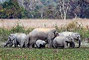 Indian elephants (lephas maximus indicus) feeding in athe marsh in Kaziranga NP, Assam, north-eastern India.