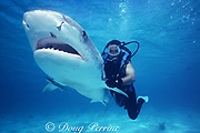 shark wrangler Mike Braun swims a tiger shark, Galeocerdo cuvier, to revive it after being working up by the U. of Miami RSMAS shark research team at the Bimini Biological Field Station, aka SharkLab, South Bimini, Bahamas ( Western Atlantic ) MR 319