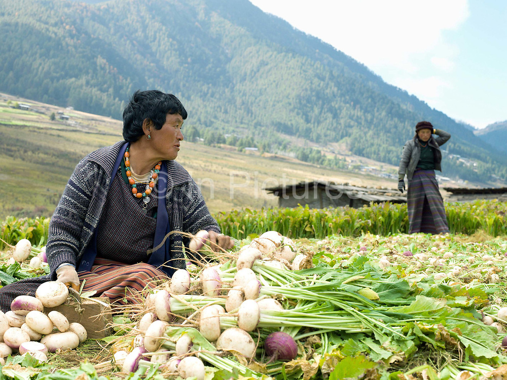 Farmers harvest turnips in Dhazheyjhab village, Phobjikha valley, Bhutan. Turnips are stored over the winter and used by farmers as winter feed for their cattle.