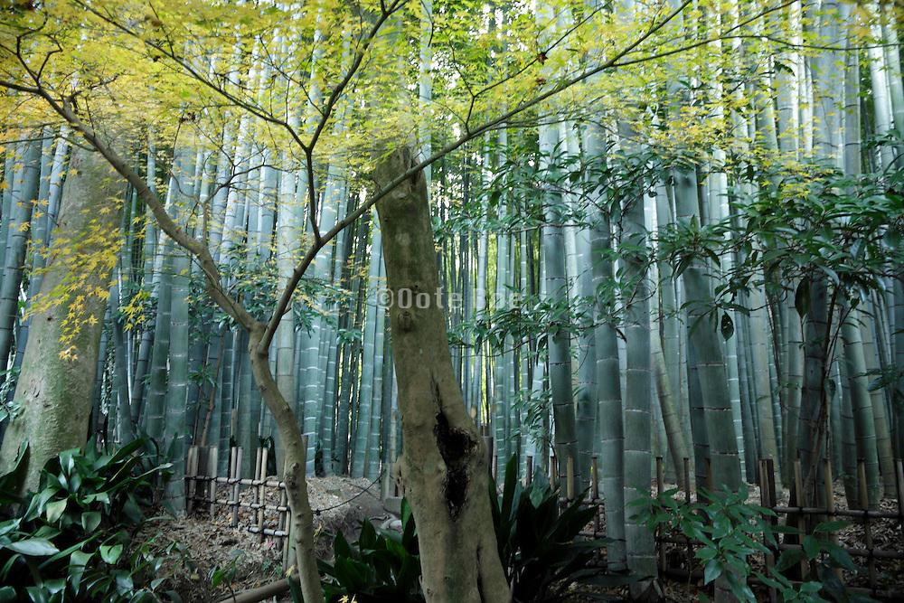 bamboo forest garden Kamakura Japan