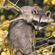 Raccoon, (Procyon lotor) Baby coon hanging on to limb of fall colored aspen tree.  Captive Animal.