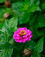 Zinnia. Image taken with a Fuji X-H1 camera and 80 mm f/2.8 OIS macro lens.