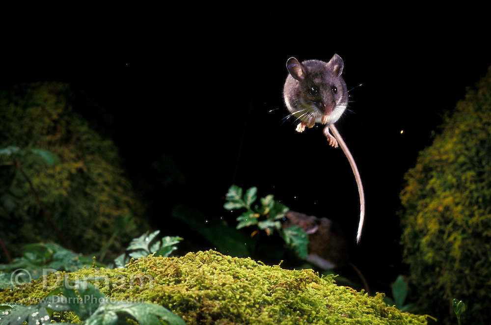 A deer mouse (Peromyscus maniculatus) in the midst of an evasive jump. When threatened, these mice will reflexively jump into the air to avoid being caught.