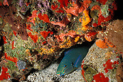 queen parrotfish, Scarus vetula, <br /> terminal male asleep in mucus cocoon at night<br /> St. Barthelemy or St. Bart's ( Caribbean Sea )