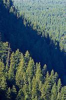 Ponderosa Pine (Pinus ponderosa)  on a Klickitat Canyon wall, WA, USA