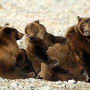 Alaskan Brown Bear (Ursus middendorffi) Mother resting with her cubs. Katmai National Park. Alaska.