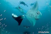 divers photograph manta rays, Manta alfredi (formerly Manta birostris ), in feeding aggregation, filter-feeding on plankton, in school of silversides, Hanifaru Bay, Hanifaru Lagoon, Baa Atoll, Maldives ( Indian Ocean )
