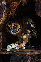 Owls or Strigiformes include about 200 species of mostly nocturnal birds of prey. Owls typically a broad head, sharp talons and feathers adapted for silent flight. Owls eat mostly insects and small mammals.  Owls are divided into Strigidae and Tytonidae. The stereoscopic nature of the owl's forward facing eyes permits the depth perception necessary for low light hunting. Although owls have binocular sight, their eyes are fixed in their sockets. They need to turn their entire head to change views and can rotate their heads & necks as much as 270 degrees with flexible neck vertibrae.