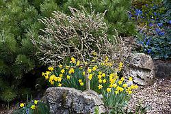 Salix subopposita underplanted with narcissi
