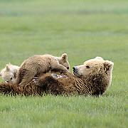 Alaskan Brown Bear, (Ursus middendorffi) Mother nursing her two cubs, Katmai National Park, Alaska.