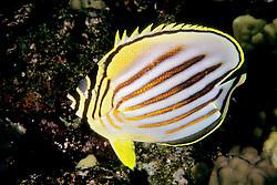 ornate butterflyfish, Chaetodon ornatissimus, Kona, Big Island, Hawaii, Pacific Ocean