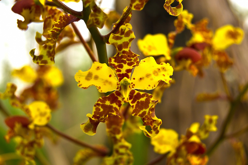 This incredible orchid has a long history of being taken from the wild for the orchid trade. There are stories of single plants weighing hundreds of pounds being pulled out of the Everglades by the wagon load. These days, small ones are difficult to find.