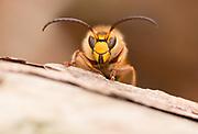 Hornet male (Vesba crabro) at close quarters. Surrey, UK.