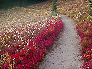 Autumn Huckleberry bushes and grasses on Naches Peak slope near Chinook Pass, Mount Rainier National Park, Washington, USA