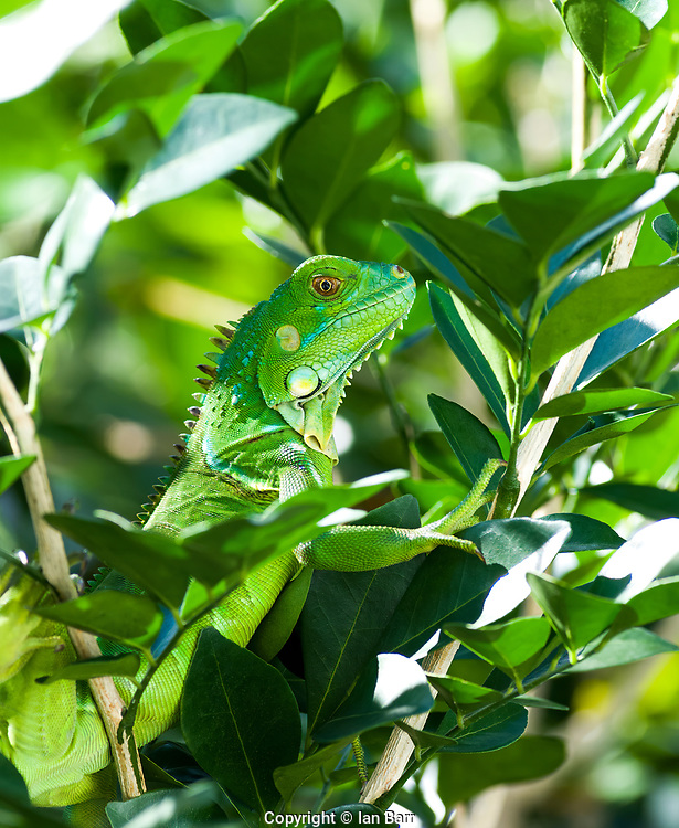 A Green Ring Tailed Iguana sitting in A Jasmin Bush in South Florida,USA.