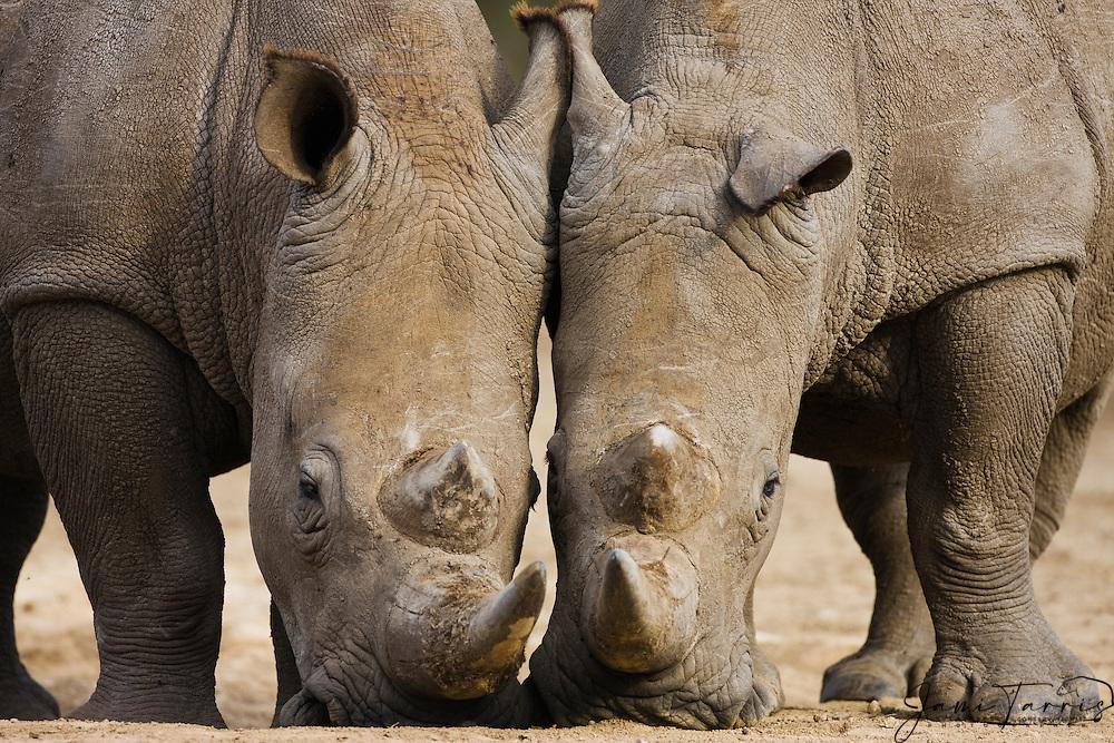 A pair of white rhinoceros feeding (Ceratotherium simum) on nearly the same spot,The Aberdares, Kenya,Africa