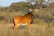 Zambian / Matetsi Sable female<br /> Exotic Game Breeders / Eden Farm<br /> Limpopo Province<br /> South Africa