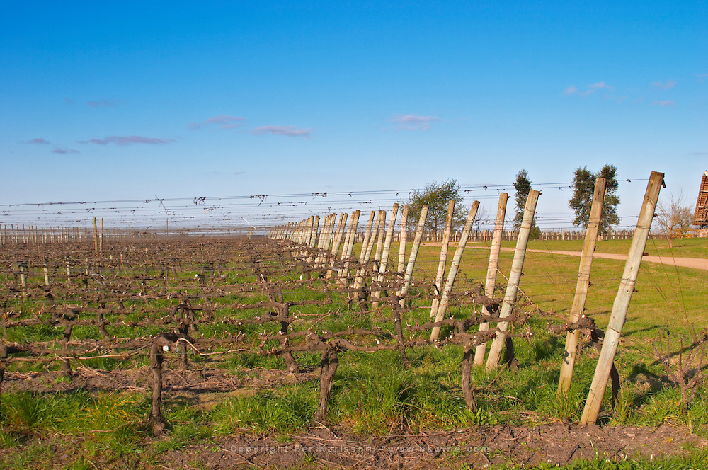 A view over the vineyard with vines trained in lyre fashion, perhaps combined with cordon Royat, with two wooden supporting posts and metal wires. Bodega Juanico Familia Deicas Winery, Juanico, Canelones, Uruguay, South America
