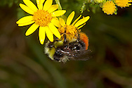 Red-tailed Bumblebee, Bombus lapidarius - male on Ragwort.