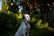 """English Setter Welpe """"Rudy"""" sitzt am 10.06. 2017 im Garten.  Rudy wurde Anfang Januar 2017 geboren und ist gerade zu seiner neuen Familie umgezogen."""