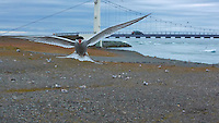 Arctic Tern Complaining That I Was Too Close To The Nesting Grounds. Jökulsárlón Lagoon entrance near the  Breiðamerkurjökull Glacier in Southeast Iceland. Image taken with a Nikon 1 V2 camera and 32 mm f/1.2 lens (ISO 400, 32 mm, f/5.6, 1/2000 sec). Nikonians Academy Iceland Photo Adventure Tour.