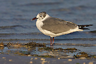 Laughing Gull - Larus atricillaAdult in transition to breeding<br /> Pinellas Co., FL<br /> February 2006