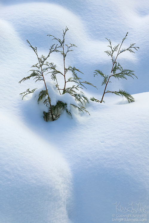 A few young evergreen trees poke out from a very deep snow drift near Fitzsimmons Creek in Whistler, British Columbia, Canada. The Whistler Valley gets an average of 14 feet of snow per winter.