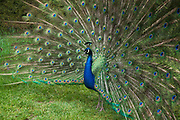 Peacock displays his feathers, the extravagant eye-spotted tail, which it displays as part of courtship. Kew Gardens, London, UK.