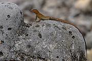 Bonaire Whiptail Lizard (Cnemidophorus murinus ruthveni) Female<br /> BONAIRE, Netherlands Antilles, Caribbean<br /> HABITAT & DISTRIBUTION: Terrestrial mostly on sandy soils<br /> ENDEMIC TO: Bonaire & Klein Bonaire