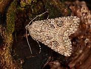 Close-up of a Nutmeg moth (Anarta trifolii) resting on tree bark in a Norfolk garden in summer