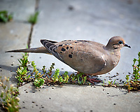 Mourning Dove Image taken with a Nikon D5 camera and 600 mm f/4 VR telephoto lens (ISO 400, 600 mm, f/4, 1/1250 sec).