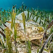 A yellow stingray (Urobatis jamaicensis) hides in turtlegrass seagrass (Thalassia testudinum) in The Bahamas