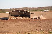 Outdoor free range pig farming, Wantisden, Suffolk, England