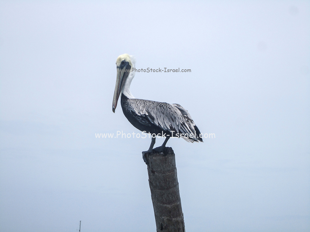Brown Pelican (Pelecanus occidentalis) stands on a pole. This bird inhabits coastal regions in North America and northern South America. It has a large pouch of skin under its bill that enables it to catch considerable amounts of fish at one time. Photographed in Belize in June