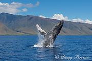 humpback whale, Megaptera novaeangliae, breaching, West Maui, Hawaii, USA ( Central Pacific Ocean )
