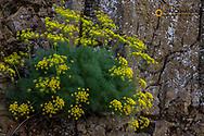 Pungent Desert Parsley in Rowena, Oregon, USA
