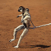 Verreaux's Sifaka, (Propithecus verreauxi) ENDANGERED SPECIES. Dancing style of locomotion. Madagascar.